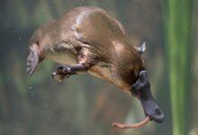 """صورة باحثون يوصون بإدراج حيوان خلد الماء الأسترالي ضمن """"الأنواع المهددة بالانقراض"""""""