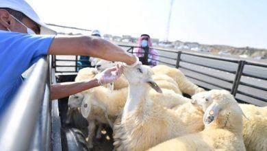 صورة فسح أكثر من مليون رأس ماشية في موسم الحج