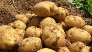 صورة البطاطا.. نبات الشياطين وطعام الساحرات