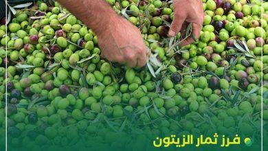 صورة الزراعة بغزة تُصدر توجيهات للمزارعين حول موسم قطف الزيتون