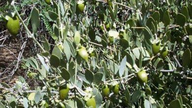 صورة نبات الجوجوبا في مصر يتحمل ملوحة المياه وتعطى أعلى إنتاجية (فيديو)